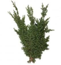 Mountain Hemlock :: 28 - 32 in. long - 3 lb. bunch - 15 per carton